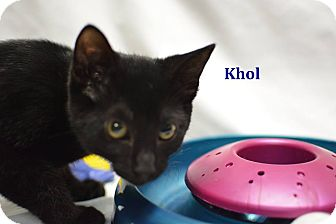 Domestic Shorthair Kitten for adoption in Miami Shores, Florida - Khol