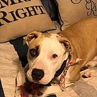 Adopt A Pet :: Brisket - Houston, TX