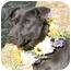 Photo 4 - Labrador Retriever Mix Dog for adoption in Cincinnati, Ohio - Sue