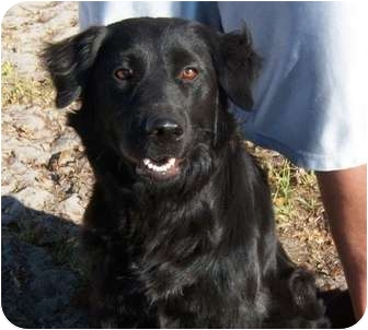 Flat-Coated Retriever Mix Dog for adoption in Largo, Florida - MOLLY (aka Lucky)