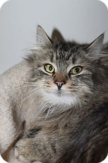 Maine Coon Cat for adoption in North Branford, Connecticut - Marcus