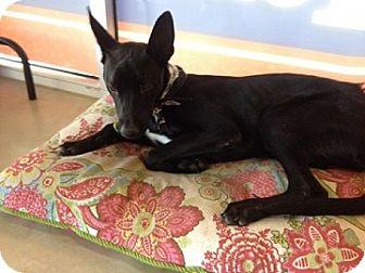 Labrador Retriever Mix Dog for adoption in Schertz, Texas - Atticus