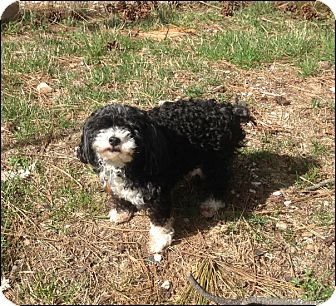 Miniature Poodle Mix Dog for adoption in Colville, Washington - Charlie