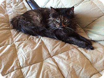Domestic Longhair Cat for adoption in Laguna Woods, California - Casey