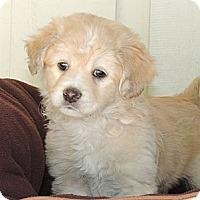 Adopt A Pet :: Ron - La Habra Heights, CA