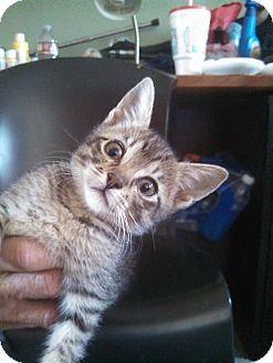 Domestic Shorthair Kitten for adoption in Pueblo West, Colorado - Lindsey