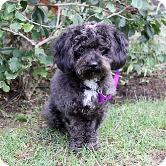 Poodle (Miniature) Mix Dog for adoption in Newport Beach, California - OPAL