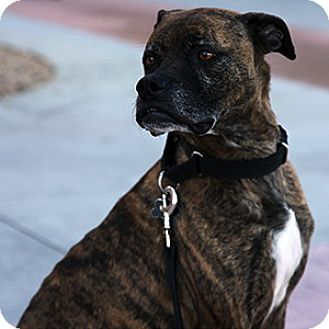Boxer Mix Dog for adoption in Gilbert, Arizona - Bleeker