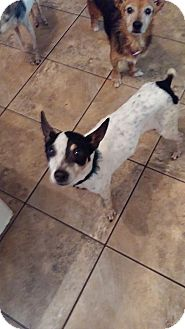 Rat Terrier Mix Dog for adoption in Brooksville, Florida - Lizette