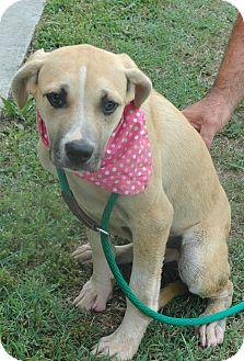 Boxer/Labrador Retriever Mix Dog for adoption in Spring City, Pennsylvania - Gypsy