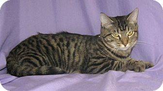 Domestic Shorthair Cat for adoption in Powell, Ohio - Gabby