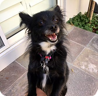 Pomeranian/Schipperke Mix Dog for adoption in Pleasanton, California - Daphne-Adoption Pending