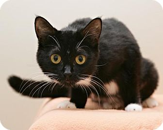 Domestic Shorthair Cat for adoption in Bellingham, Washington - Whoopie