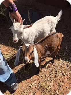 Goat for adoption in Cornville, Arizona - Gracie