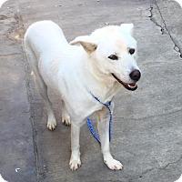 Adopt A Pet :: Hachi - La Mirada, CA