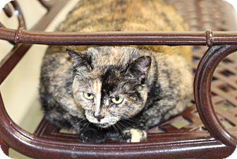 Domestic Shorthair Cat for adoption in Greensboro, North Carolina - Autumn