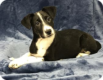 Border Collie Mix Puppy for adoption in Redding, California - Tarkin, Star wars litter