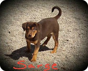 Labrador Retriever/Shepherd (Unknown Type) Mix Puppy for adoption in Buckeye, Arizona - Sarge