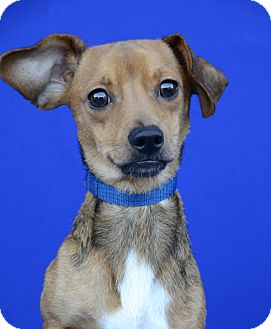 Dachshund/Terrier (Unknown Type, Small) Mix Dog for adoption in LAFAYETTE, Louisiana - WALTER