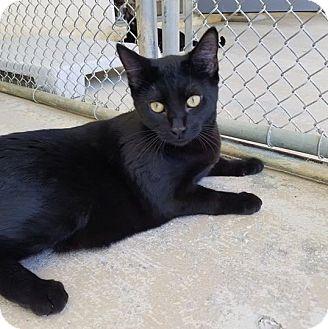 Domestic Shorthair Cat for adoption in Umatilla, Florida - Pocus