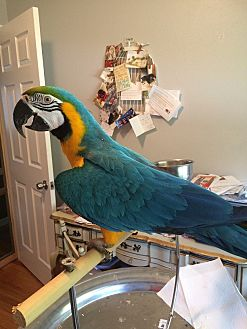 Macaw for adoption in St. Louis, Missouri - Basha
