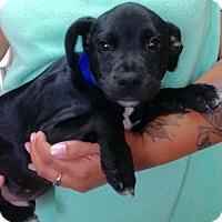 Adopt A Pet :: ! 3 Labboy - Colton, CA