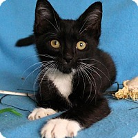 Adopt A Pet :: I'M FRANKLIN AND I'M THE PURRFECT KITTEN! - jacksonville, FL