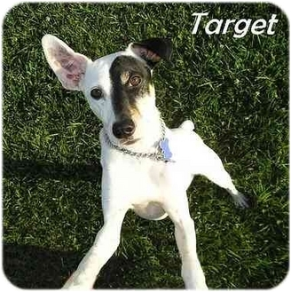 Rat Terrier Mix Dog for adoption in Harlan, Iowa - Target