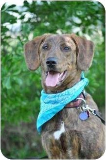 Plott Hound Mix Dog for adoption in Portsmouth, Rhode Island - Norman