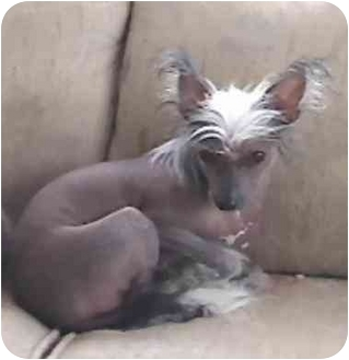 Chinese Crested Mix Dog for adoption in Salem, Oregon - Fancy
