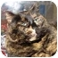 Photo 1 - Domestic Shorthair Cat for adoption in Walker, Michigan - Molly