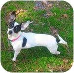 Rat Terrier Mix Dog for adoption in Jacksonville, North Carolina - Fergie