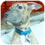 Photo 3 - Shar Pei/Terrier (Unknown Type, Medium) Mix Puppy for adoption in Detroit, Michigan - Leah-Adopted!