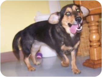 Dachshund/Hound (Unknown Type) Mix Dog for adoption in Rockingham, North Carolina - Penny