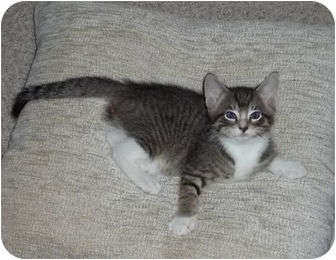Domestic Shorthair Kitten for adoption in Montgomery, Illinois - Smudge - Dixon, IL