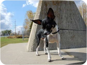 Chihuahua Dog for adoption in North Judson, Indiana - Teddy