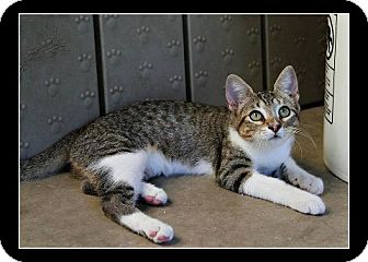 American Shorthair Kitten for adoption in Comanche, Texas - Anna