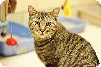 Domestic Shorthair Cat for adoption in Pueblo, Colorado - Pepe