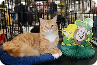 Maine Coon Cat for adoption in Harrisburg, North Carolina - Lacey
