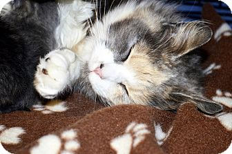 Domestic Longhair Cat for adoption in Xenia, Ohio - Samantha