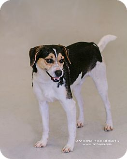 Beagle Mix Dog for adoption in Pinehurst, North Carolina - Baxter