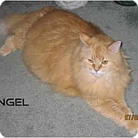Adopt A Pet :: Angel - Catasauqua, PA