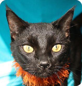 Domestic Shorthair Cat for adoption in Jackson, Michigan - Johnson