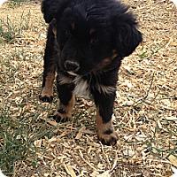 Adopt A Pet :: Mr. Bear - Westminster, CO