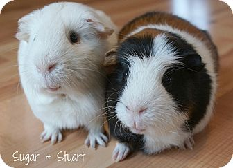 Guinea Pig for adoption in Brooklyn Park, Minnesota - Sugar & Stuart