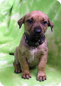 Shepherd (Unknown Type) Mix Puppy for adoption in Westminster, Colorado - Martina