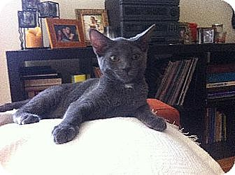 Russian Blue Kitten for adoption in Los Angeles, California - Rhett