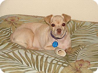 Pug/Chihuahua Mix Dog for adoption in Hurricane, Utah - MAGGIE MAE