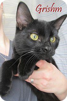 Domestic Shorthair Cat for adoption in Menomonie, Wisconsin - Grishm