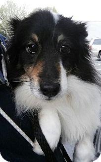 Sheltie, Shetland Sheepdog Dog for adoption in Gainesville, Florida - Rosabella